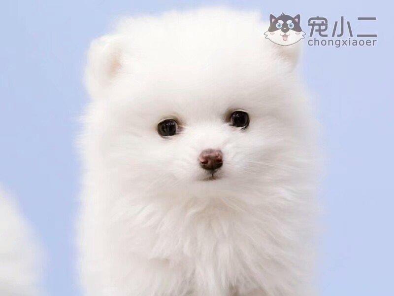 家养赛级博美犬宝宝品质纯正喜欢加微信可签署协议