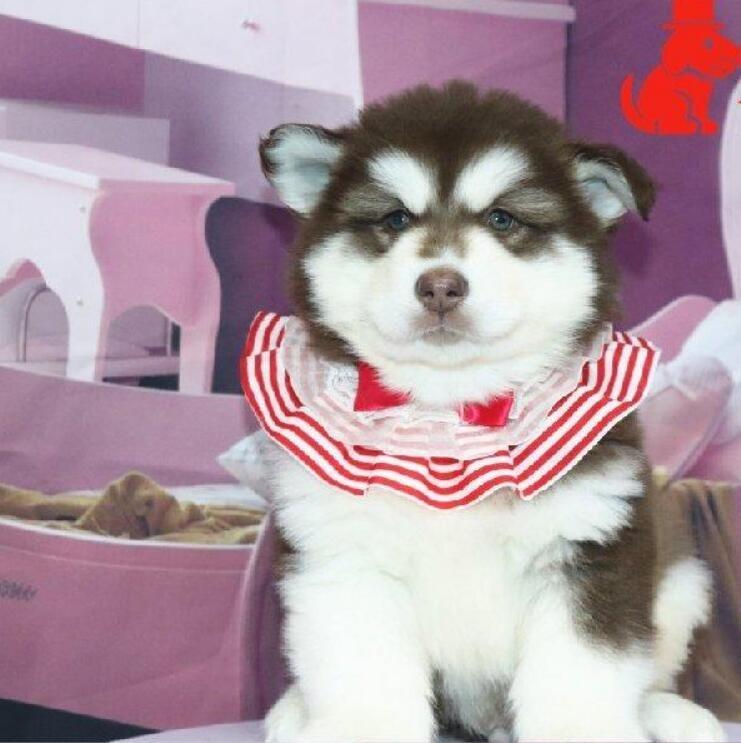 熊版大骨量阿拉斯加幼犬 包健康纯种 健康质保可送货