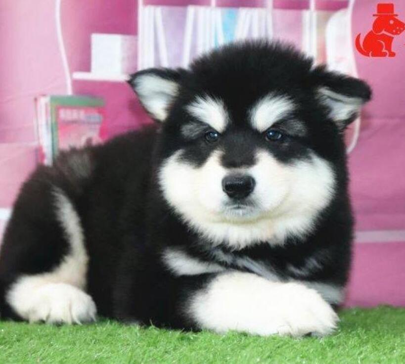 多种颜色的赛级阿拉斯加犬幼犬寻找主人品质一流三包终身协议