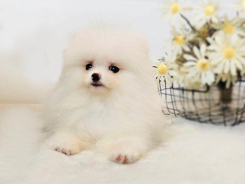 出售博美犬幼犬,金牌店铺放心选,签订活体协议