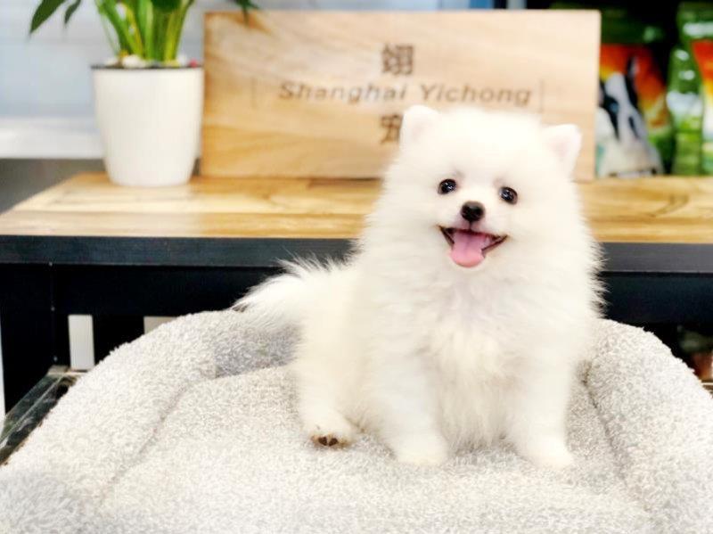 博美犬幼犬热销中 可看狗狗父母照片 微信咨询看狗