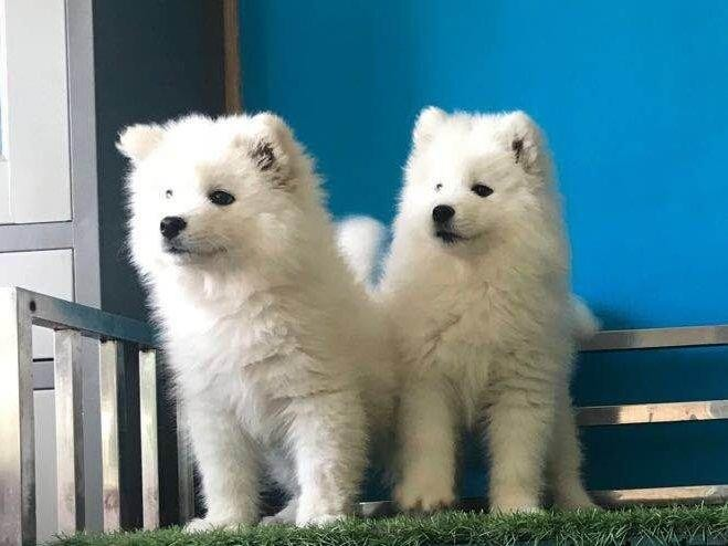 出售萨摩耶犬无异味大骨架萨摩幼犬上门看