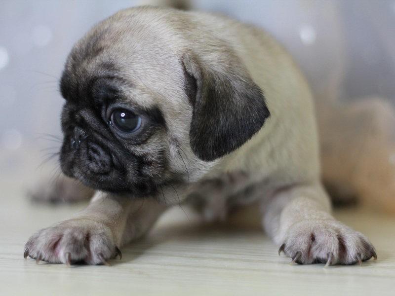 纯种健康巴哥幼犬出售可爱迷人哈巴狗体型完美包活