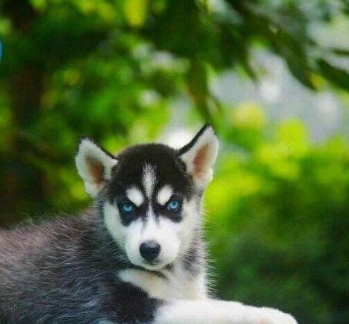 极品哈士奇幼犬 保纯种保健康 CKU认证犬舍