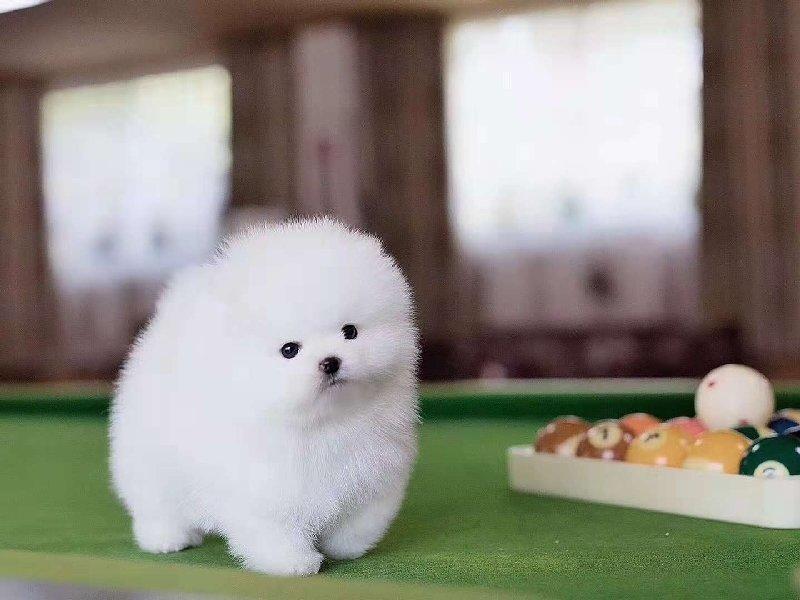 犬舍直销极品博美犬漂亮可爱惊爆价转让博美幼犬