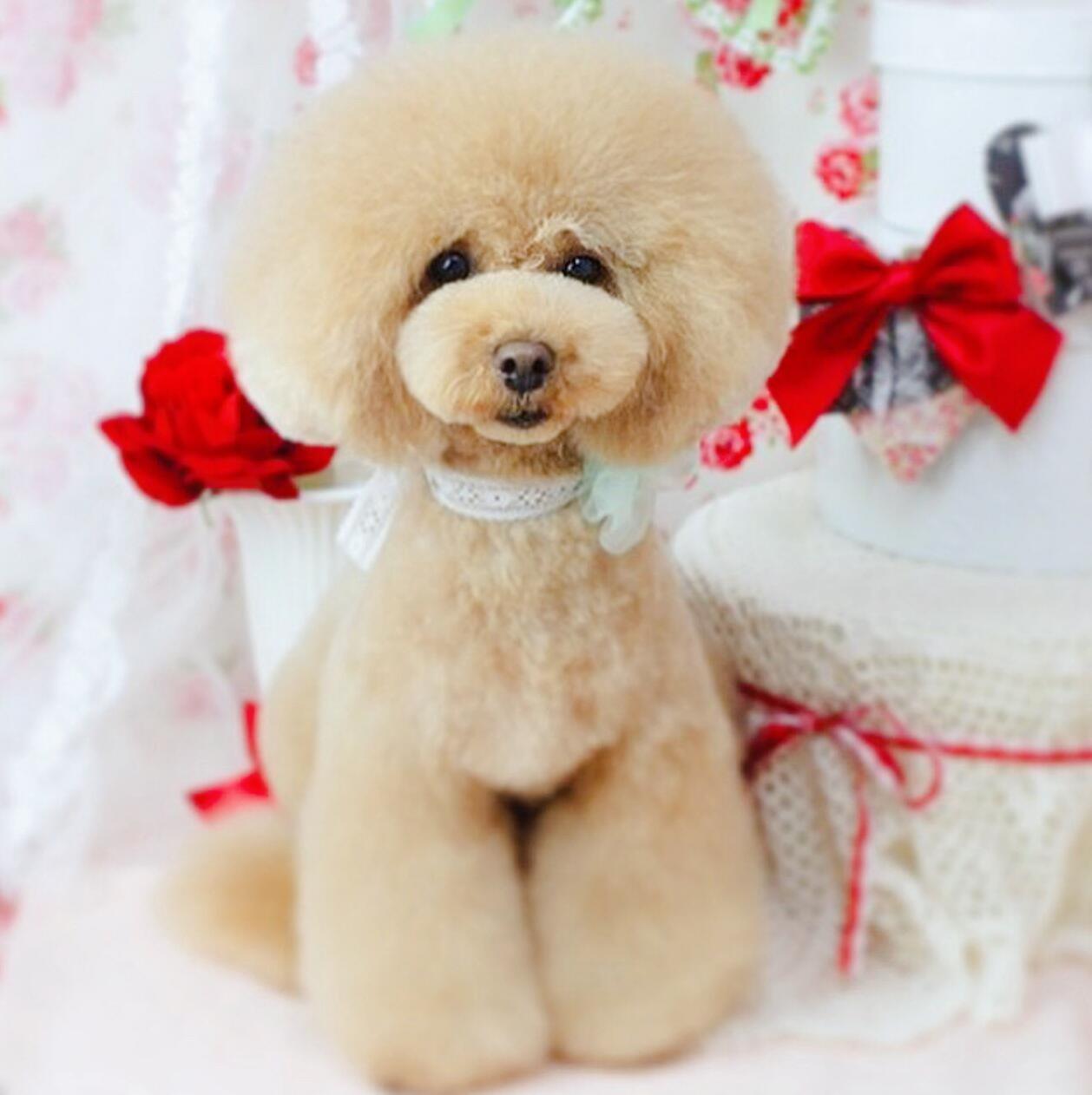 热销贵宾犬幼犬 假一赔十价位最低 三年质保协议