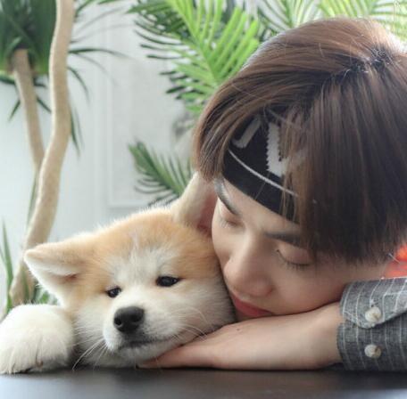 直销赛级秋田犬,CKU认证保健康,质保健康90天