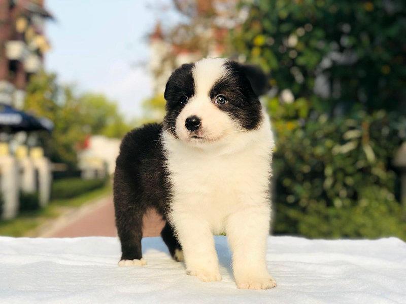 自家繁殖的纯种边境牧羊犬找主人爱狗人士优先