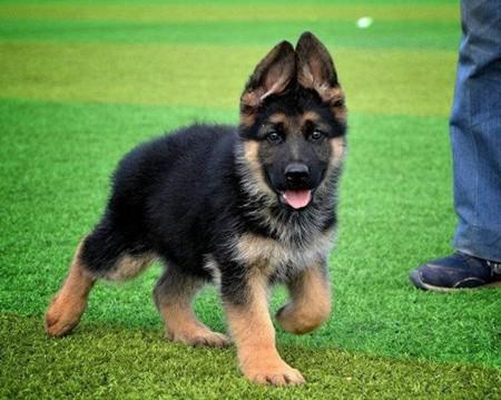 长期繁殖精品德国牧羊犬 各类纯种名犬 包养活签协议