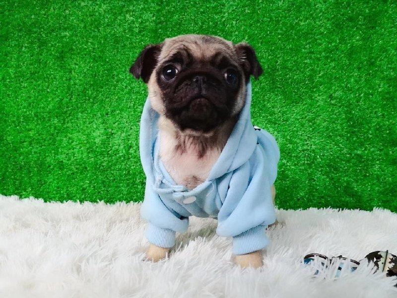 直销纯种巴哥幼犬品质保证货到付款信誉第一