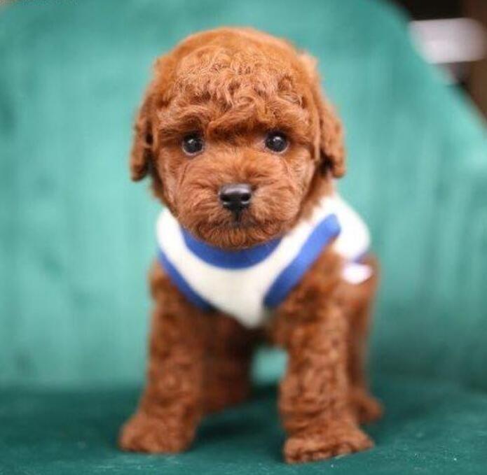 直销小体型泰迪犬香槟色棕红色泰迪熊品相好保品质
