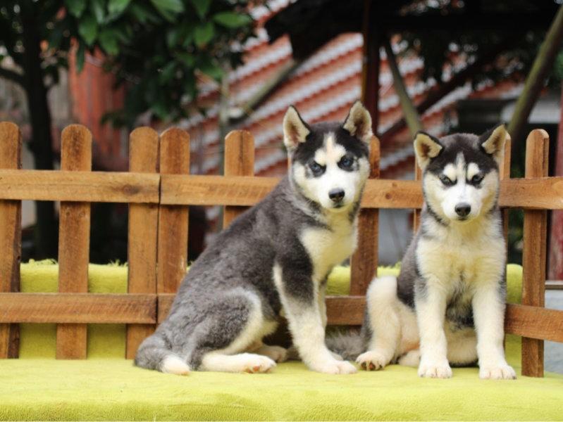自家繁殖出售三把火哈士奇宝石蓝眼睛雪橇犬健康