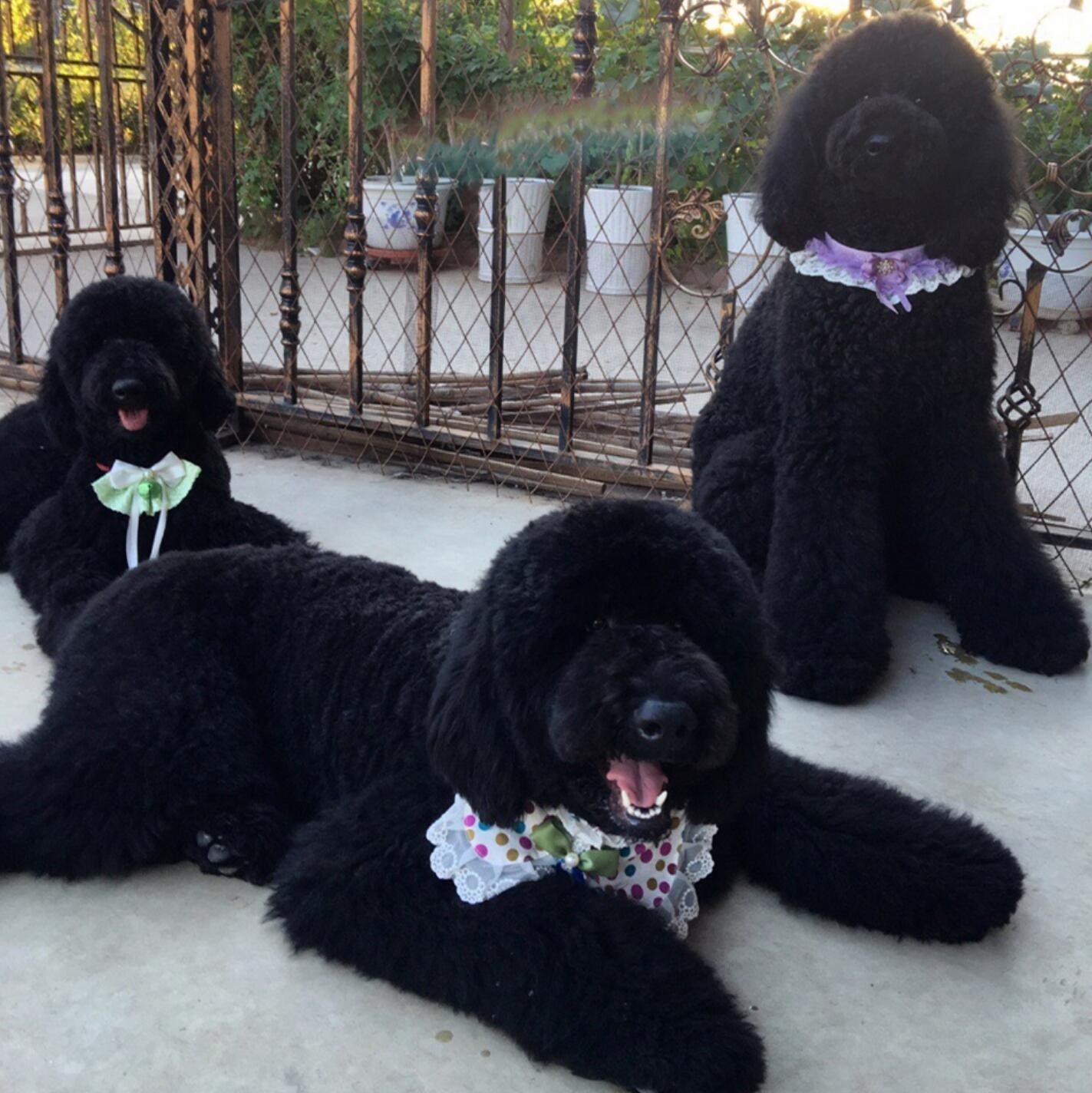 直销贵宾犬幼犬多种颜色可挑选小体型贵宾长不大