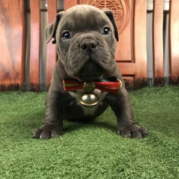 犬舍出售纯种美国恶霸犬幼犬口袋体宠物狗 包纯包质量