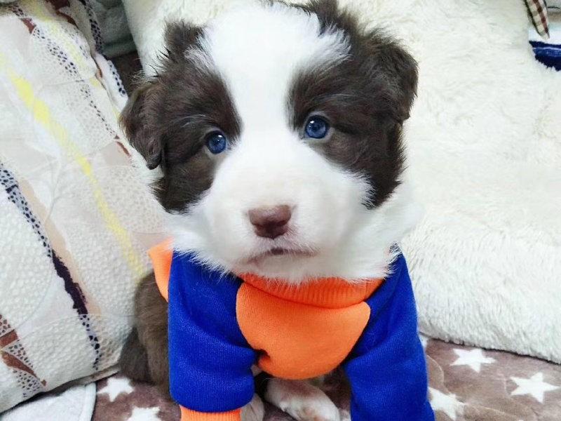 冠军级后代边境牧羊犬,品质优良血统纯正,签协议可送货