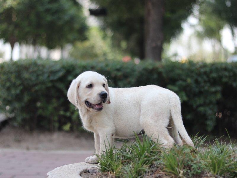 热销多只优秀的纯种拉布拉多幼犬质量三包多窝可选