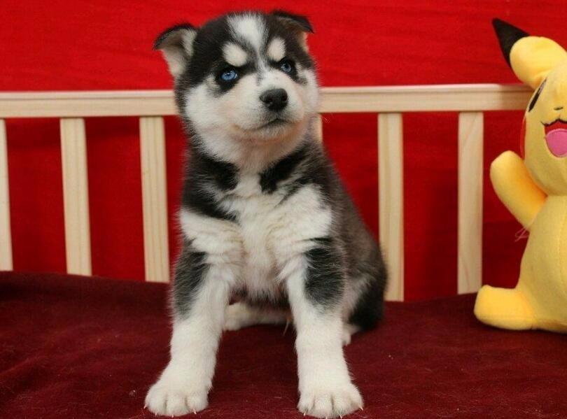 直销纯种蓝眼哈士奇幼犬 霸气有风范二哈幼犬