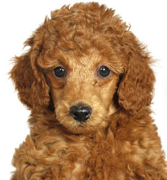纯种健康贵宾犬幼犬出售小体型贵妇犬无异味