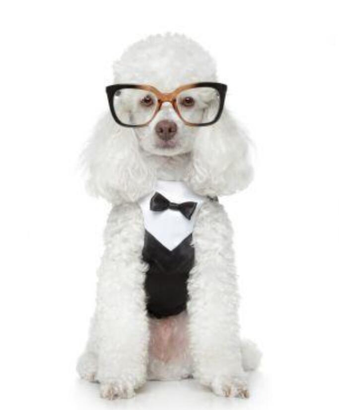 出售高端贵宾犬,CKU认证绝对保障,三包终生协议