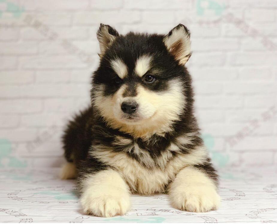 纯种赛级阿拉斯加犬 完美品相 品质第一 质保全国送货