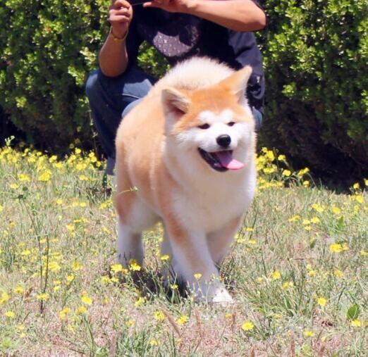 极品秋田犬幼犬,自家繁殖保健康,寻找它的主人
