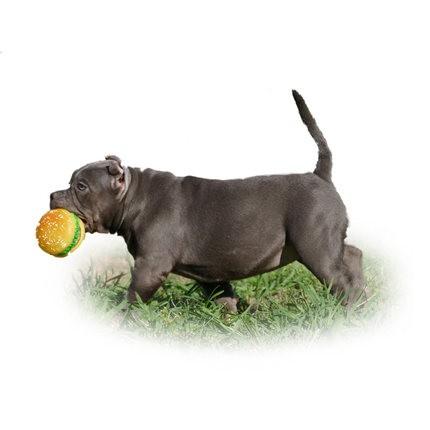 家养美国恶霸犬出售、自家繁殖保养活、提供养护指导