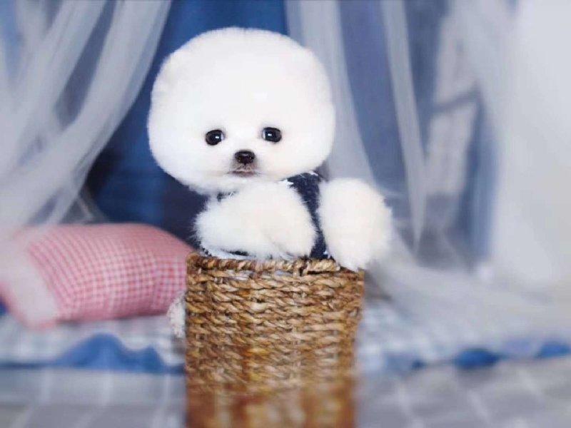 出售茶杯犬幼犬品质好有保障微信选狗直接视频