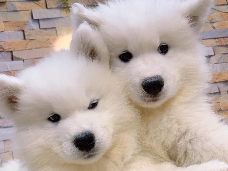 直销纯种萨摩耶幼犬澳版小萨品相一流终身售后