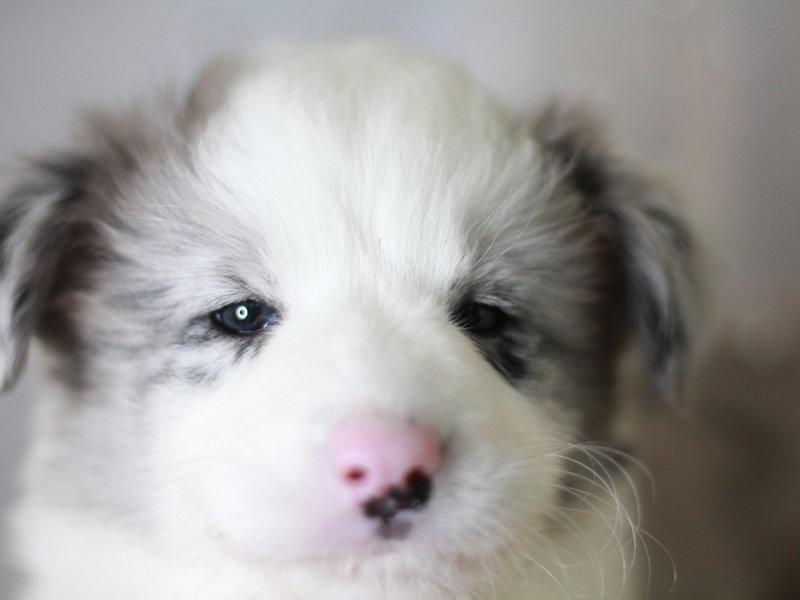 出售精品边境牧羊犬 疫苗三针做齐 品相完美签订协