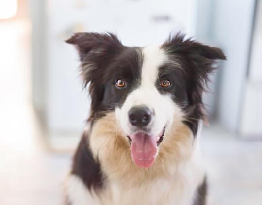 CKU犬舍认证出售纯种边境牧羊犬包养活包退换
