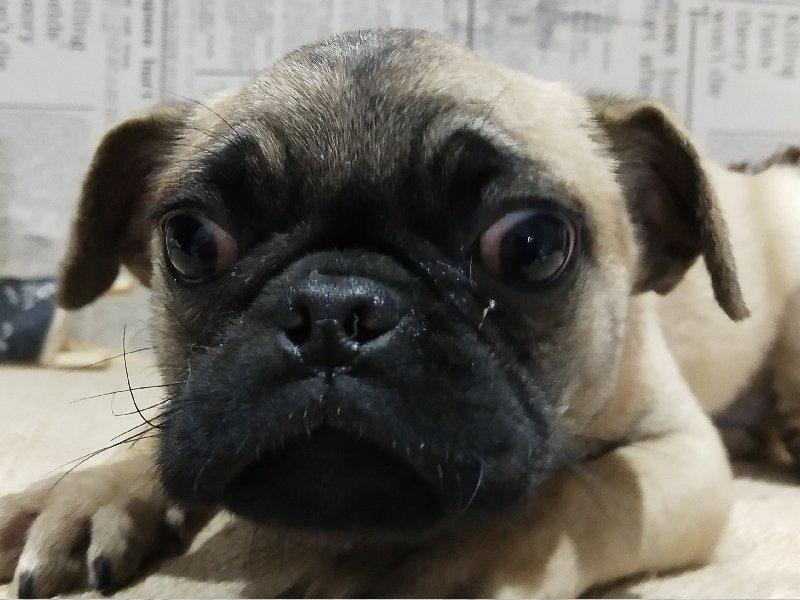 出售纯种双血统巴哥犬活体幼犬 鹰嘴巴哥犬