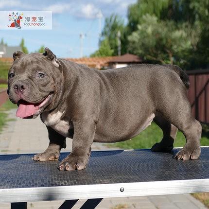 多种颜色的赛级美国恶霸犬幼犬寻找主人保证品质完美售后