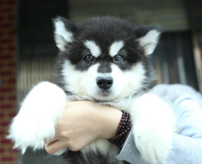 出售多种颜色的阿拉斯加犬可签合同刷卡