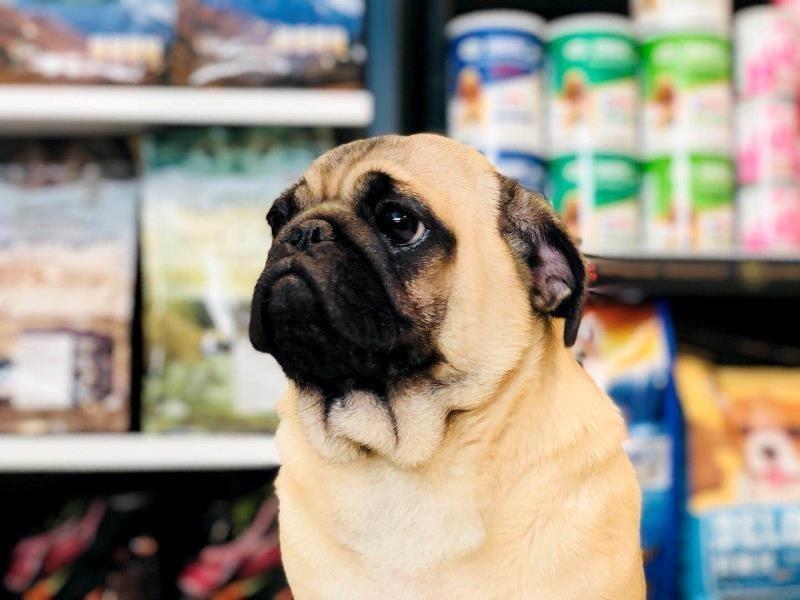 顶级巴哥幼犬 保纯种健康、视频挑选 可全国托运
