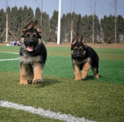 出售德国牧羊犬幼犬品质好有保障微信咨询看狗狗照片