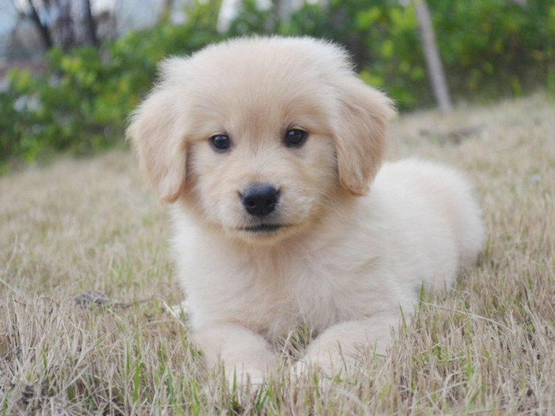 精心繁育黄金猎犬出售颜色正体型完美性格温顺金毛