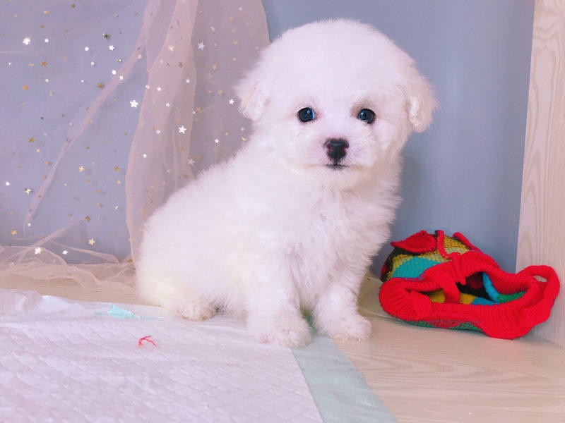 比熊犬幼犬 棉花糖白色粉扑比熊犬售多只待选