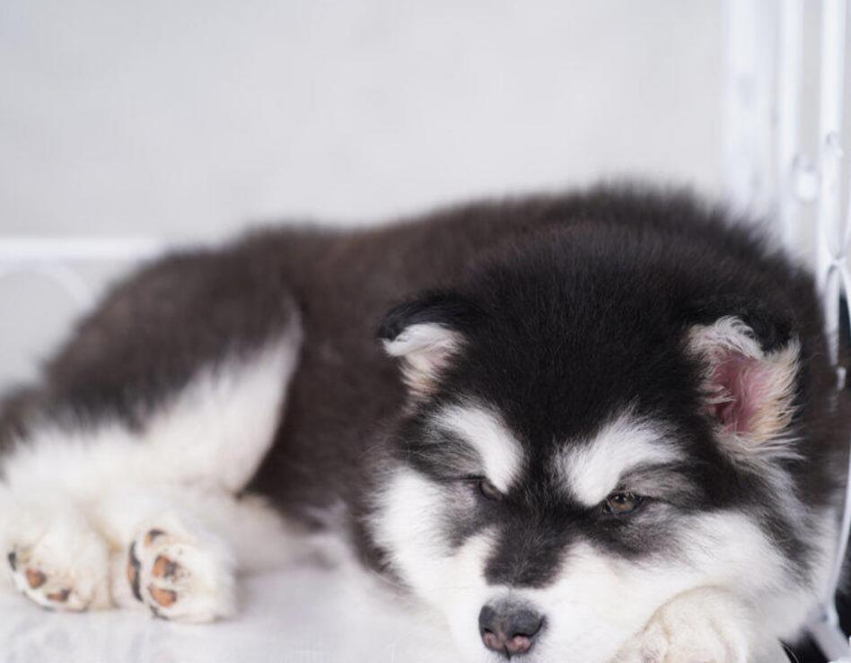 CKU认证犬舍 专业出售极品 阿拉斯加犬幼犬欢迎实地挑选