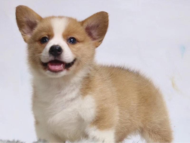 出售高端柯基,全程实拍直接视频,提供养狗指导
