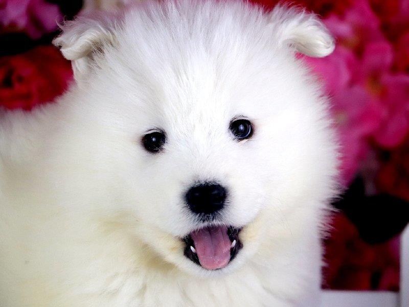 纯血统萨摩耶犬价格优惠适应性强活泼开朗家庭犬