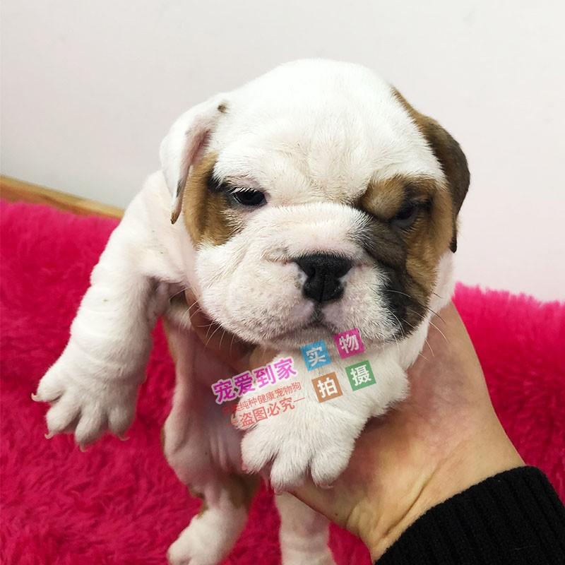 权威机构认证犬舍、专业英国斗牛犬培育 完美售后