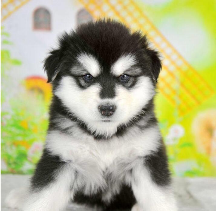 纯种阿拉斯加犬幼崽 一宠一证视频挑选 当天付款包邮