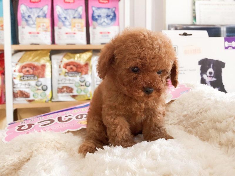 自家养小体可爱泰迪犬转让多只可选均断奶出窝疫苗