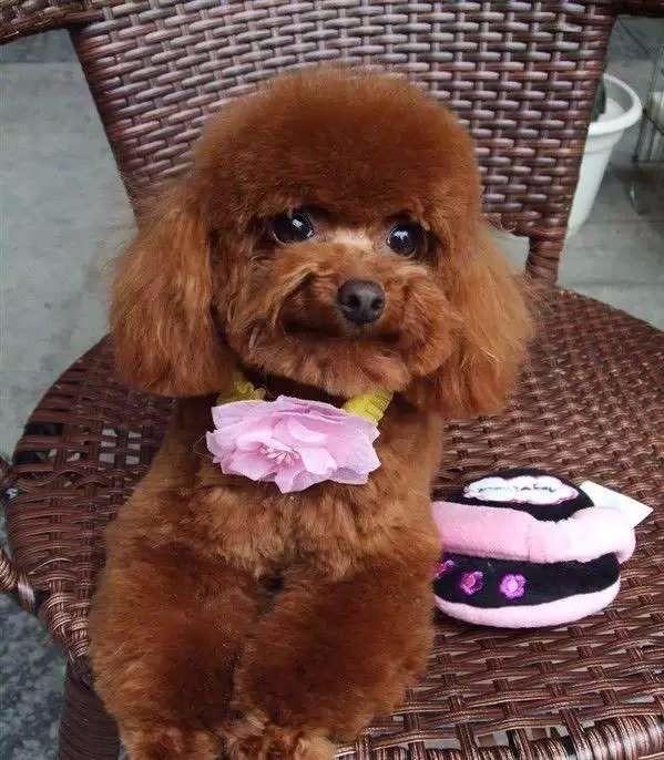 CKU犬舍认证出售纯种贵宾犬送用品送狗粮