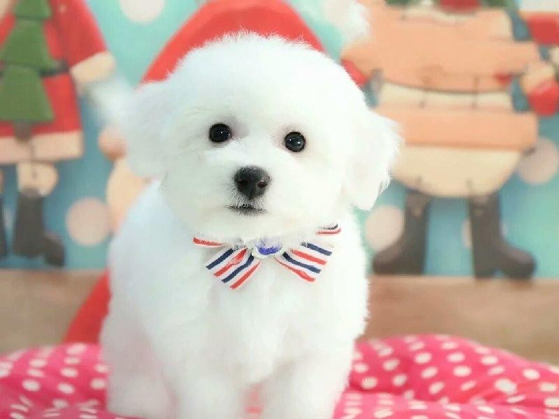 纯种棉花糖比熊犬签协议质保终身可上门看狗父母
