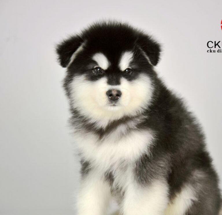 专业繁殖纯种阿拉斯加犬疫苗齐全喜欢来电咨询