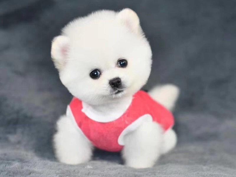 顶级优秀的纯种博美犬热销中签订合法售后协议