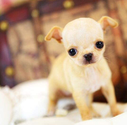自家母狗所生超可爱吉娃娃幼犬找新家