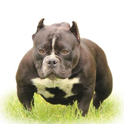 极品纯正的美国恶霸犬幼犬热销中提供护养指导