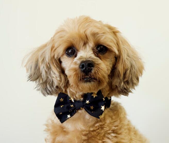 出售极品贵宾犬幼犬完美品相喜欢微信咨询